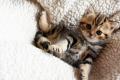 Britská koťátka s PP k rezervaci
